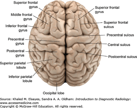 top view of the brain