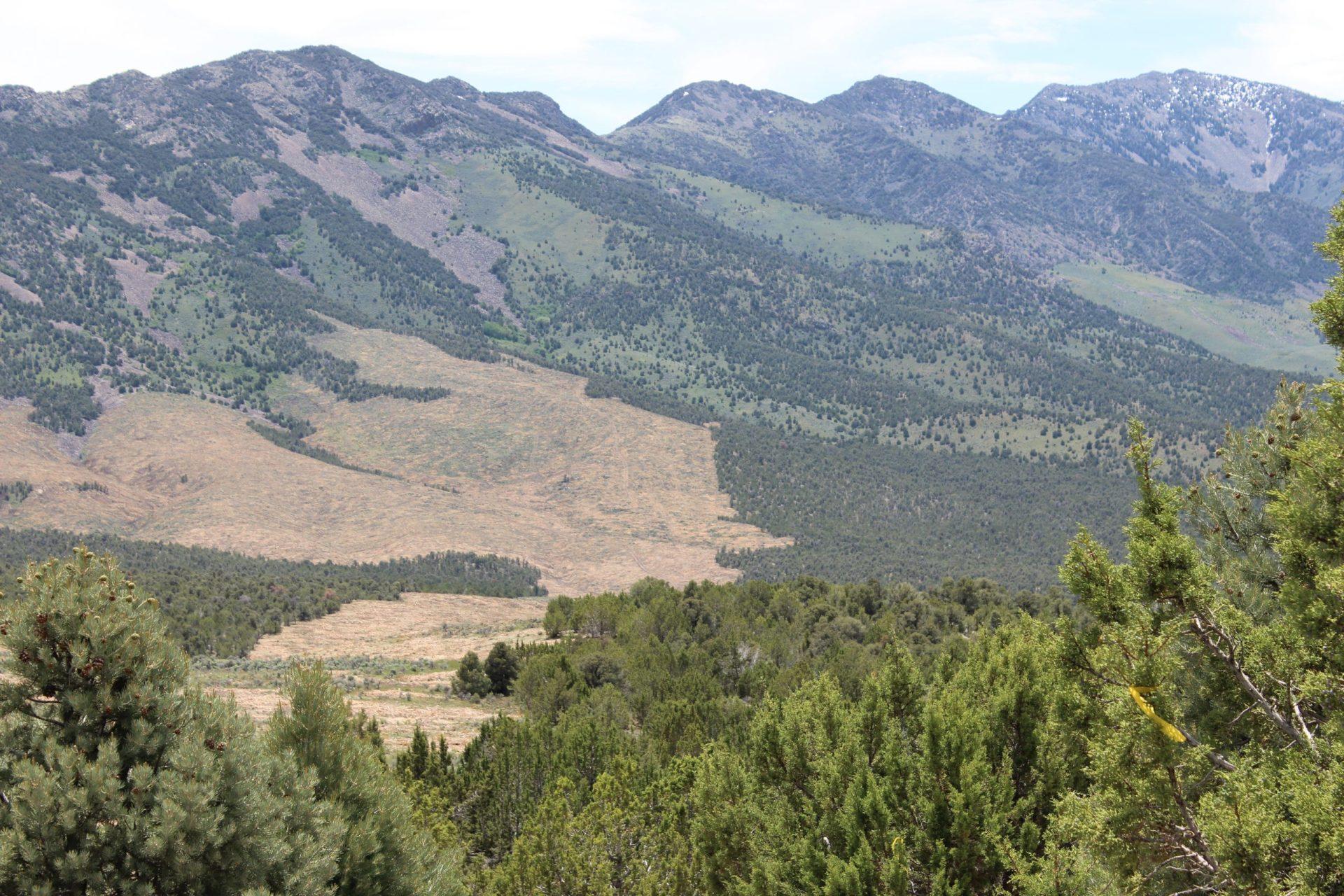 Pinyon Juniper in Nevada. Image: NRCS.
