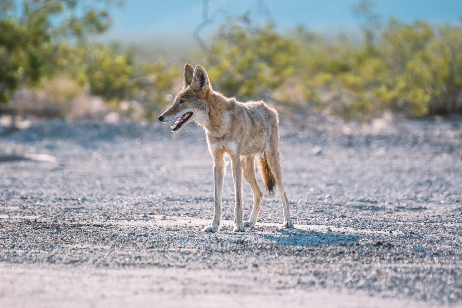 A coyote in Death Valley National Park.