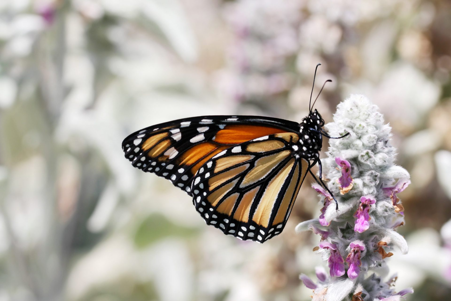 A Monarch butterfly sitting on a flower.
