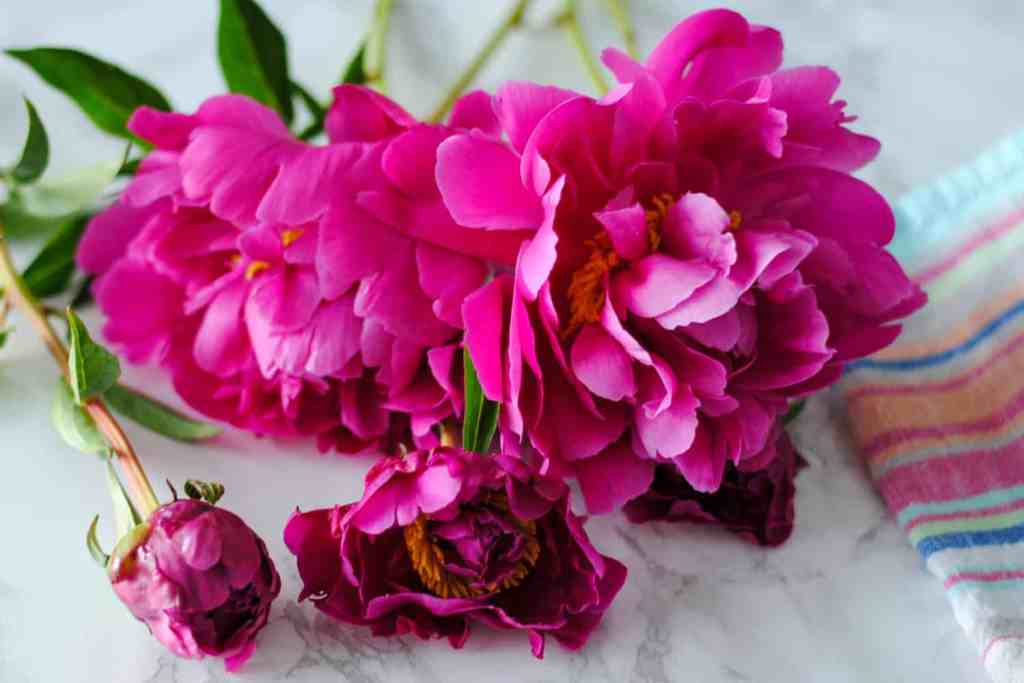 bright pink peony flowers on light background