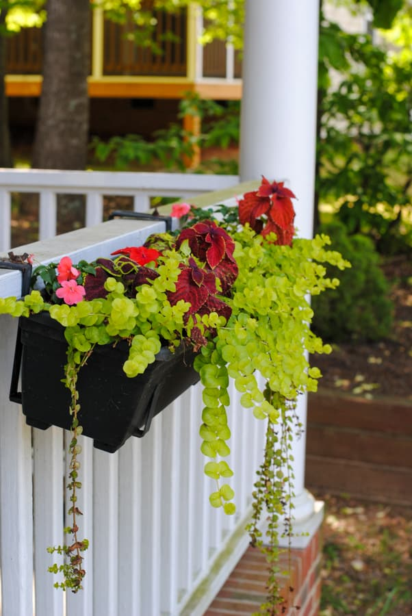 flower box with coleus, impatiens and creeping jenny