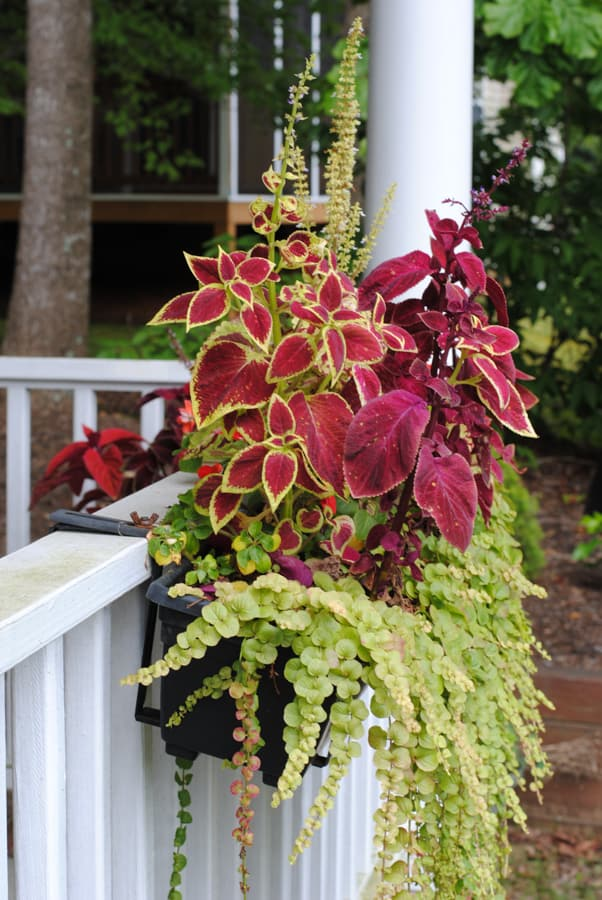 coleus impatiens and creeping jenny in flower box