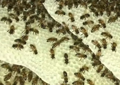 drone and worker honeycombs