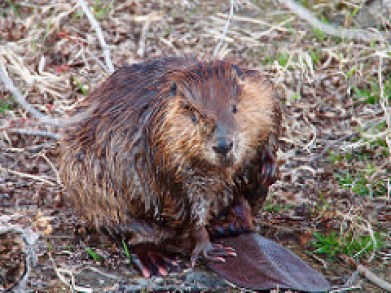 First part of beaver removal is proper beaver Identification. This is the beavers most distinguishing feature, their flat tail.
