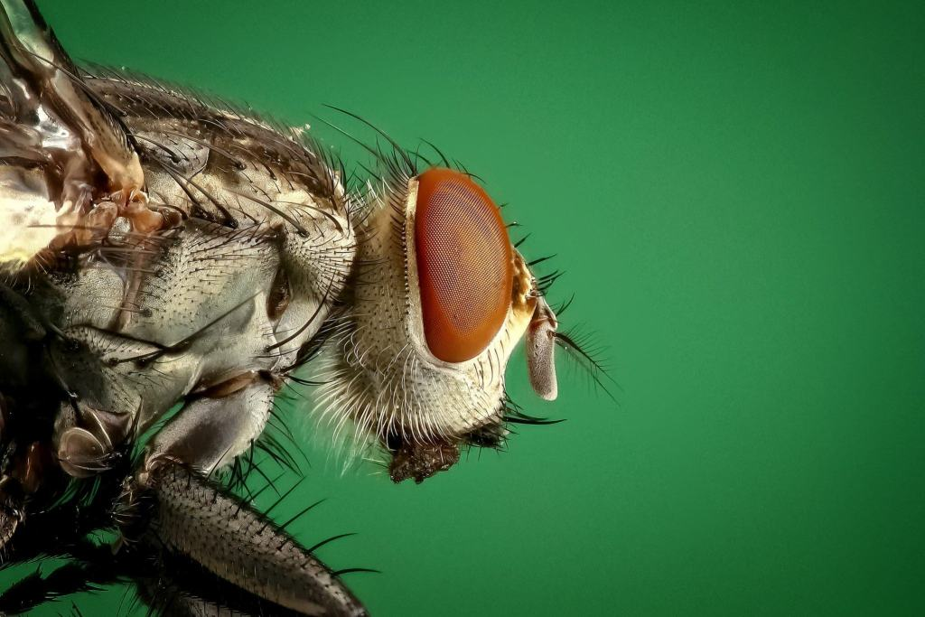 close up photo of house fly - neverpest.com