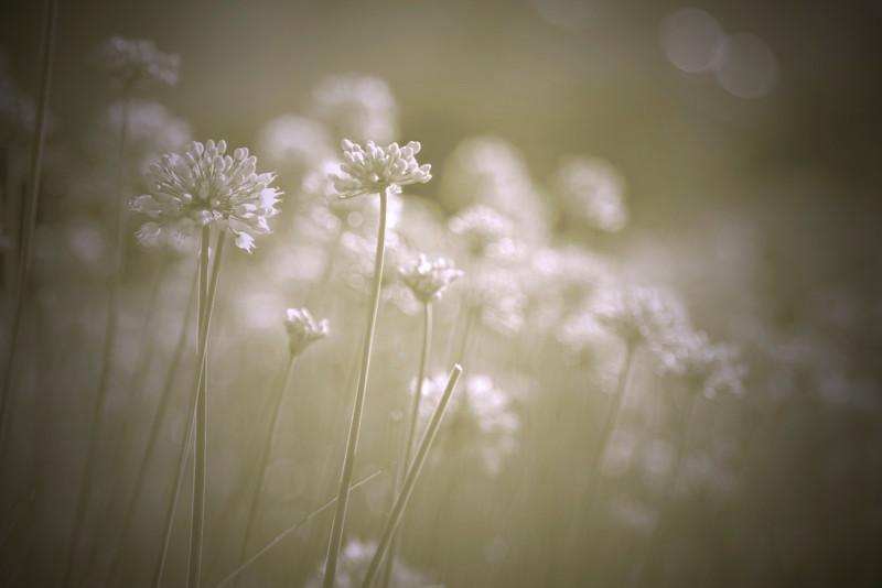 Millennium flowers