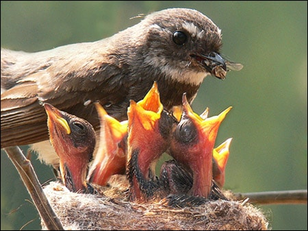 Mother Birds Feeds Her Young