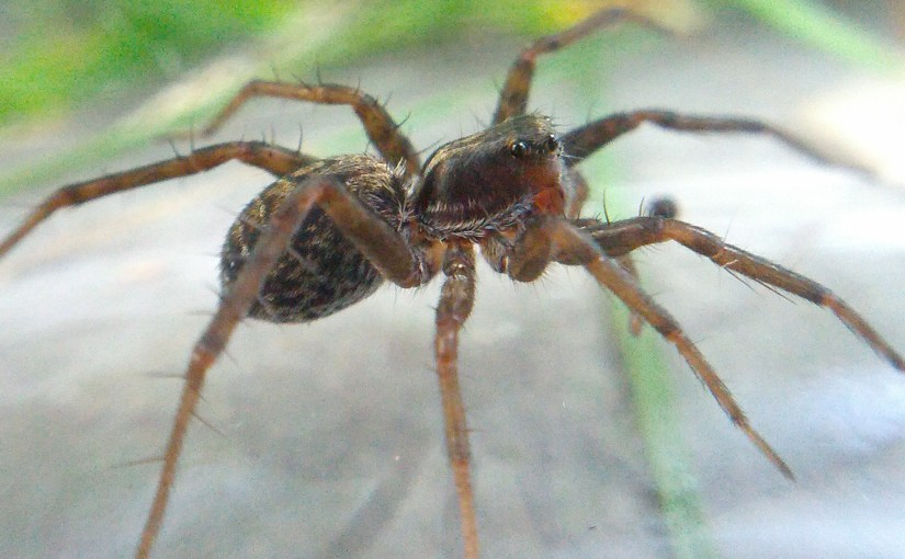 Wolf spider photoshoot!