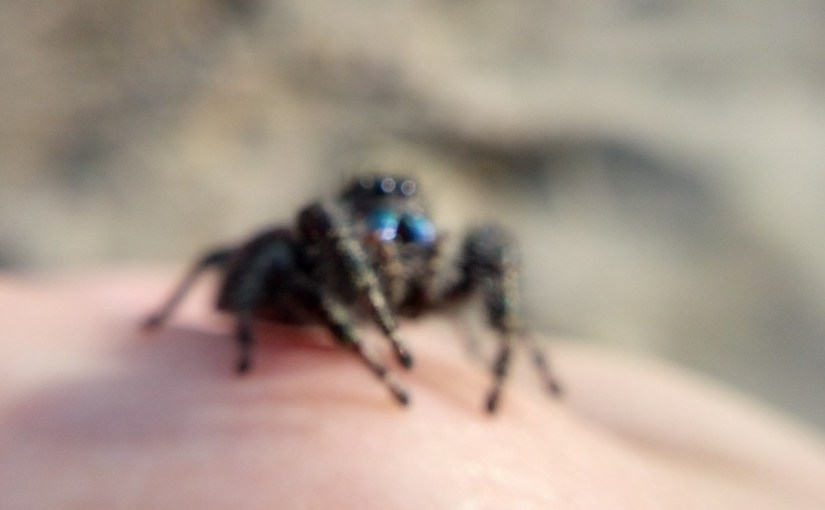 Jumping Spiders I Have Known