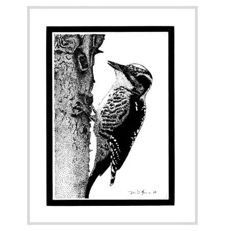 American Three-Toed Woodpecker Drawing