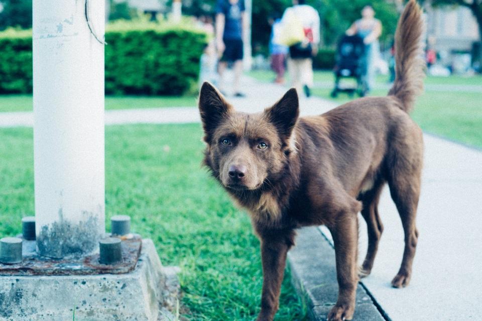 Rjavi pes