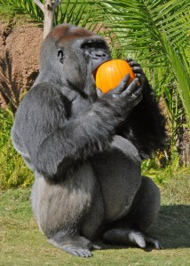 A gorilla enjoying a pumpkin treat at Halloween. Photo by Jamie Pham