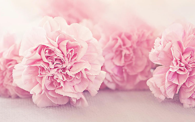 pink_carnations