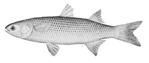Abramis (avroma) a fish indigenous to the Nile River. It may refer to a kind of bream or mullet.