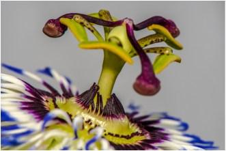 Blaue Passionsblume 2