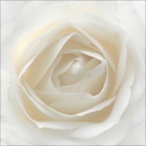Weiße Rose, Albert Damm