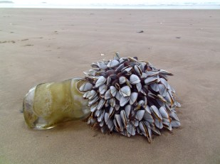 Goose barnacles on a glass bottle