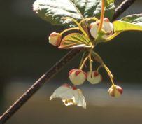 Variegated-leaf hardy kiwi (Actinidia kolomikta)