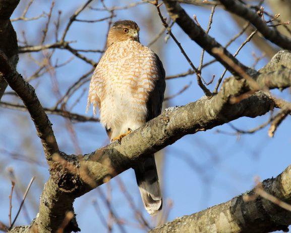"David Forsyth ""Cooper's Hawk"""
