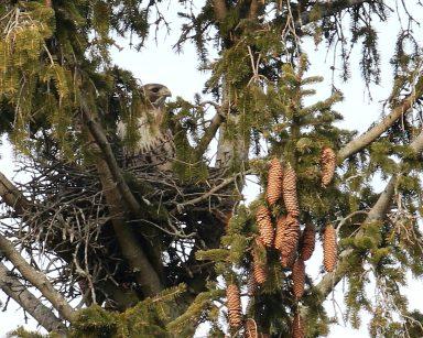 "David Forsyth ""Red-tailed Hawk nest"""