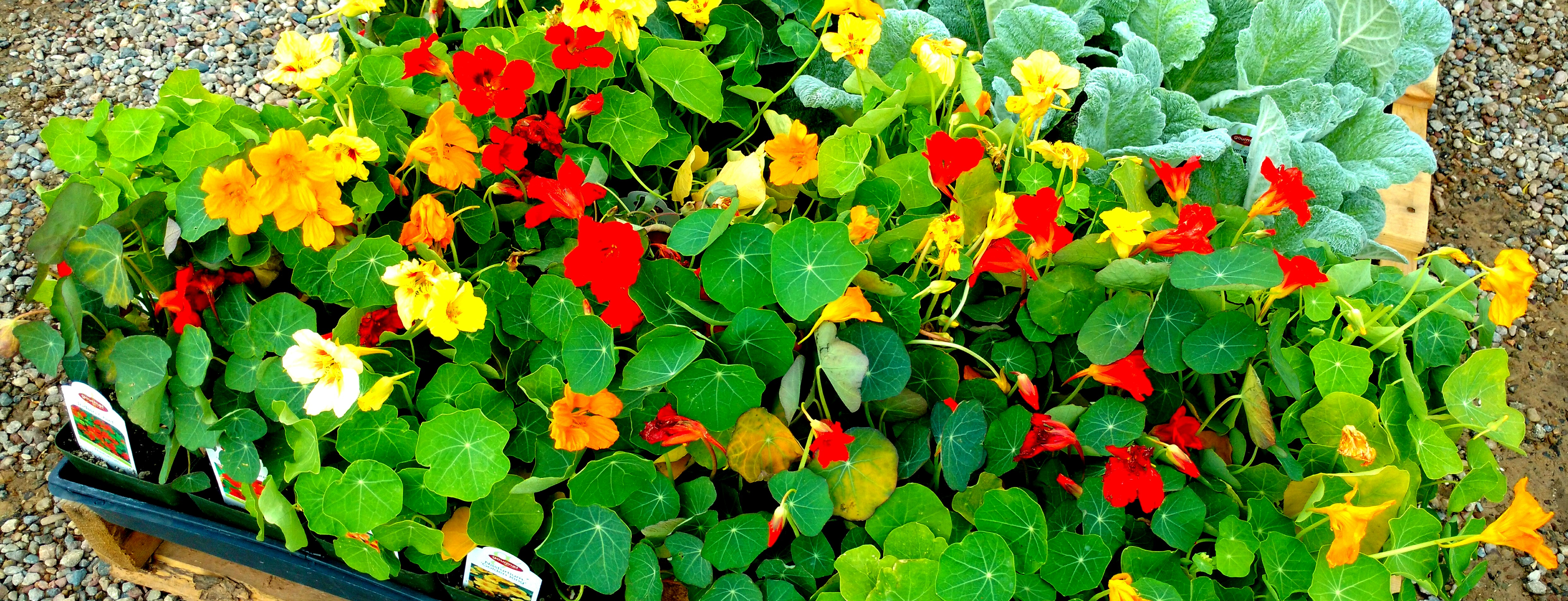 Nasturtiums at New Castle Gardens