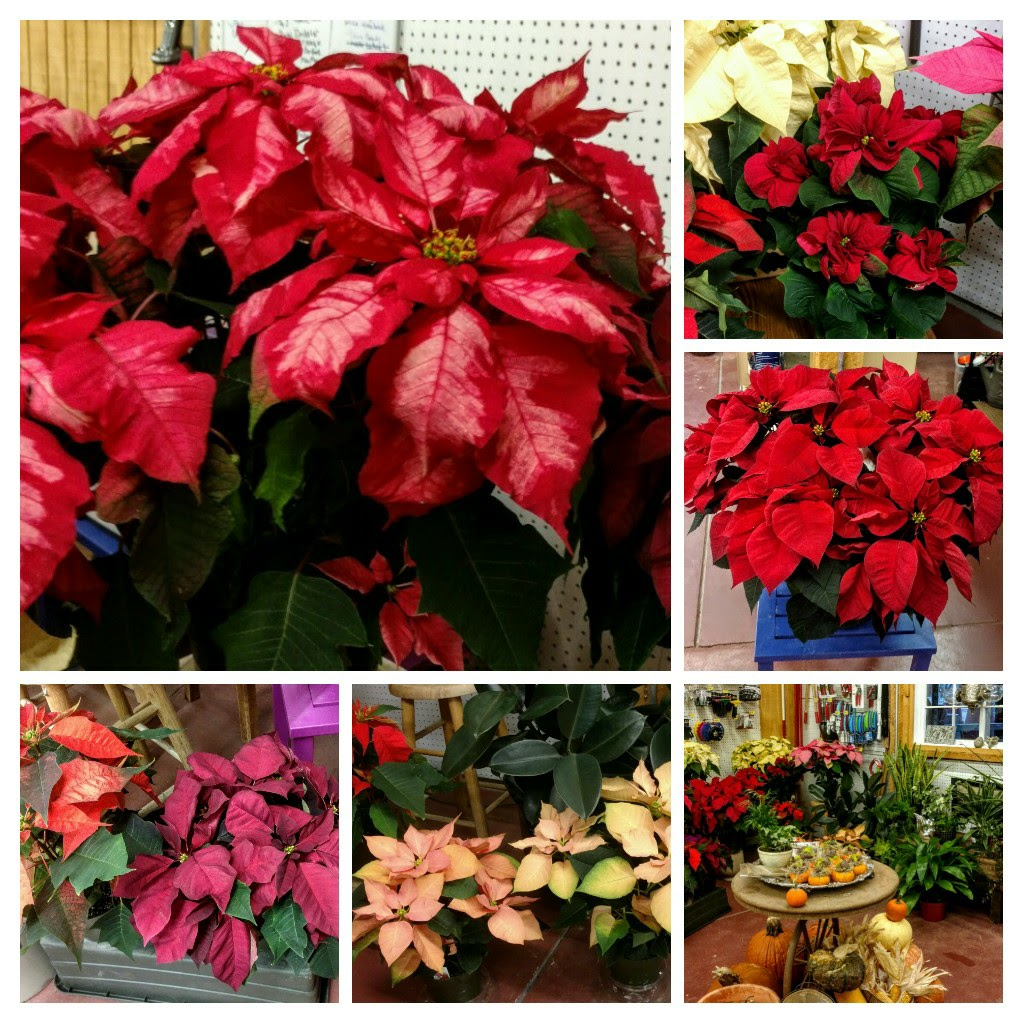Poinsettia - Collage