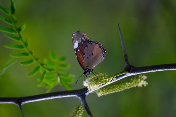 Mariposas Monarcas en rama