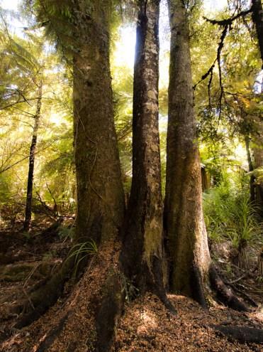 Three-headed tree, Golden Bay