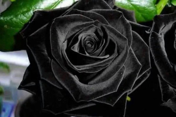 Beautiful-Black-Rose_123014-600x400