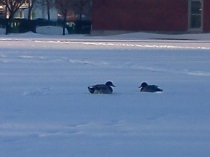 Ducks in the hood; comfortable in a school yard.