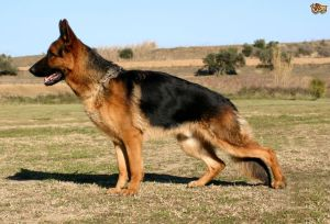 hip-dysplasia-in-dogs