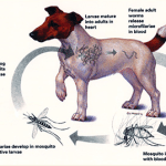 TYPES OF WORMS IN DOGS, AND THEIR TREATMENT