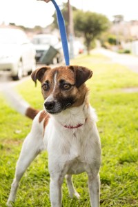 jack-russell-406166_960_720
