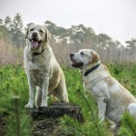 Is a Labrador Retriever Right for You?
