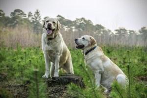 labrador-breed-dogs-animal-large