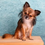 Is a Chihuahua Right for You?