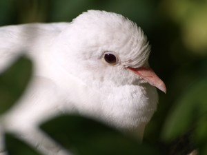 white dove reiki attunement