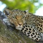 Leopard Empowerment