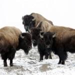 Buffalo Empowerment