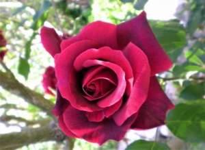 Etheric Rose Essence Empowerment