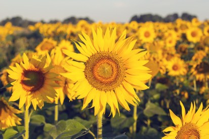 Bright yellow sunflower field. This image is meant to portray feeling happy and emotionally connected after attending a marriage seminar in New England or a marriage retreat in New England.