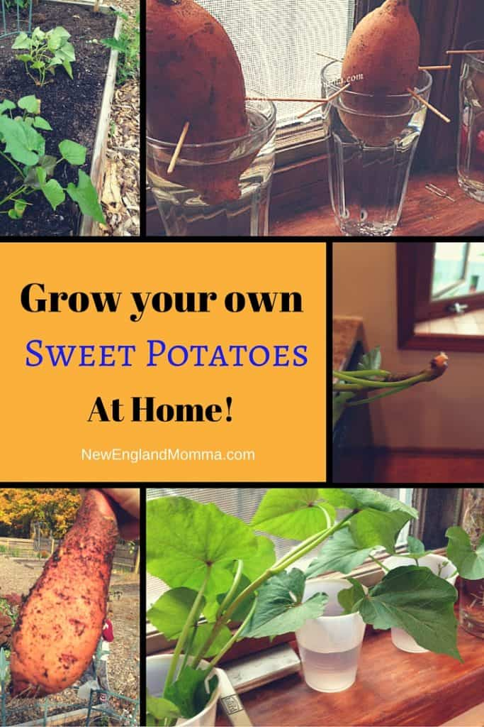 Did you know you can grow your own Sweet Potato from a Sweet Potato! Get started soon to give the sweet potatoes time to regrow. Includes step by step instructions and pictures start to finish!