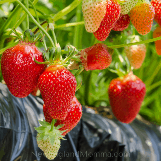 Mostly red strawberries on a vine