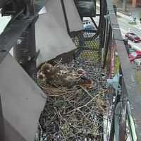 Baby Red-Tail Hawks Are Growing Their Feathers