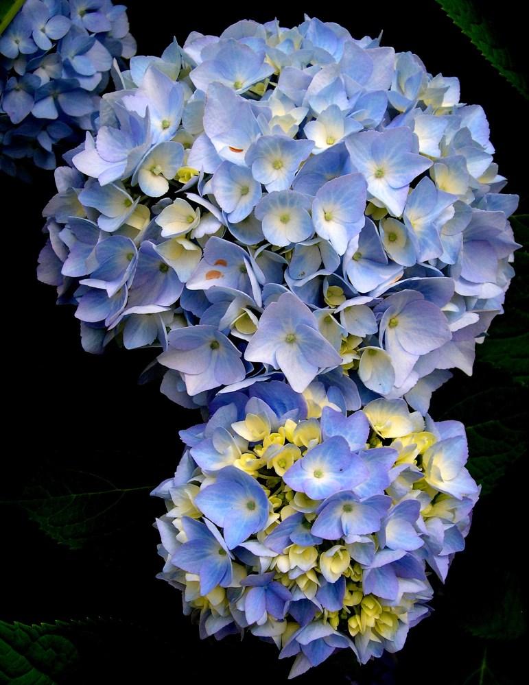 Blue Hydrangeas in Bloom (1/3)