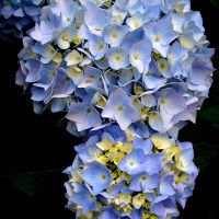 Blue Hydrangeas in Bloom