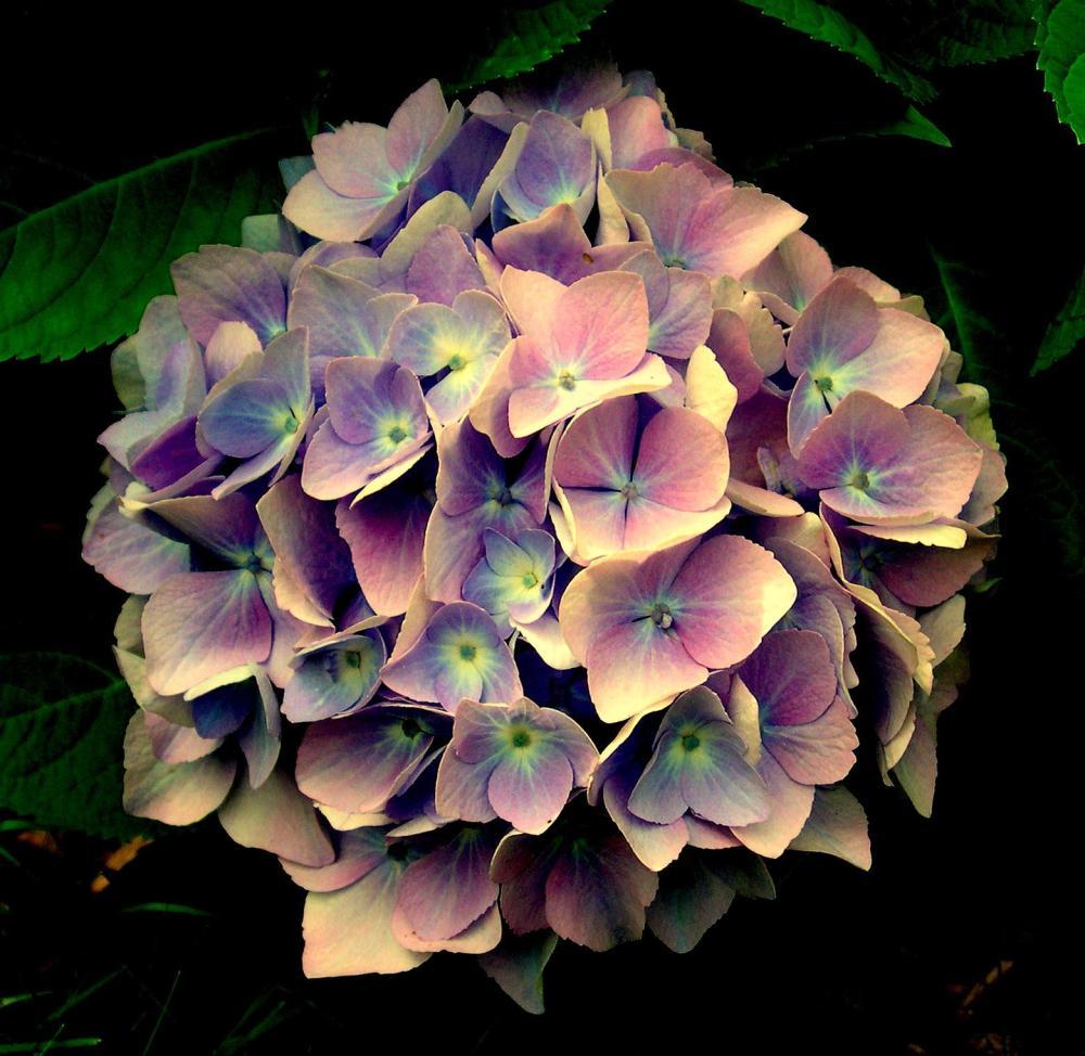 Blue Hydrangeas in Bloom (2/3)