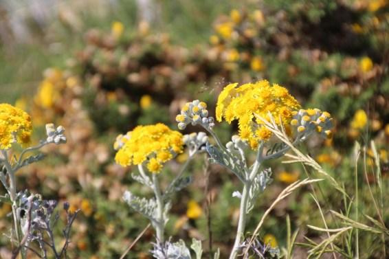 la flore de belle-ile lors d'une randonnée