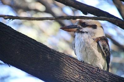 Le kookaburra est un animal hors du commun